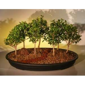 Bonsai Boys Flowering Brush Cherry Bonsai Tree Seven 7 Tree Forest