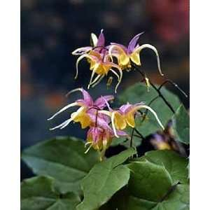 Dragon Bishop Cap Perennial Plants   Epimedium Patio, Lawn & Garden
